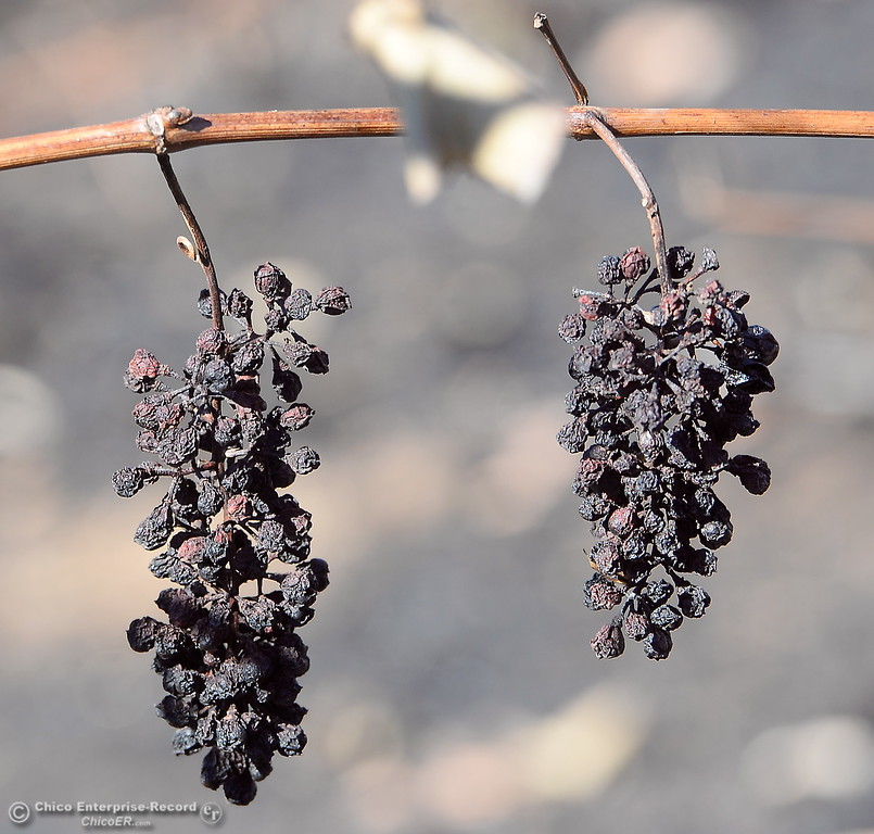 . Grapes, burned on the vine are seen at Bangor Ranch and Vinyard after it was destroyed by the La Porte Fire 10-23-2017. (Bill Husa -- Enterprise-Record)