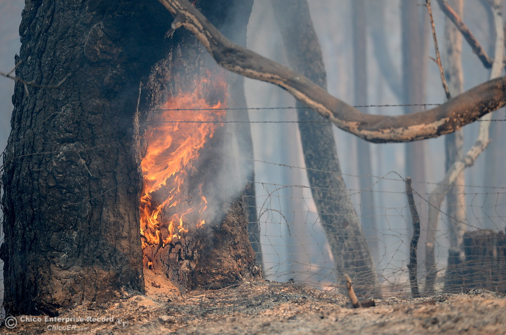 . A tree along Lumpkin Road continues to burn in the Ponderosa Fire area above Oroville, Calif. Wednesday Aug. 30, 2017.  (Bill Husa -- Enterprise-Record)