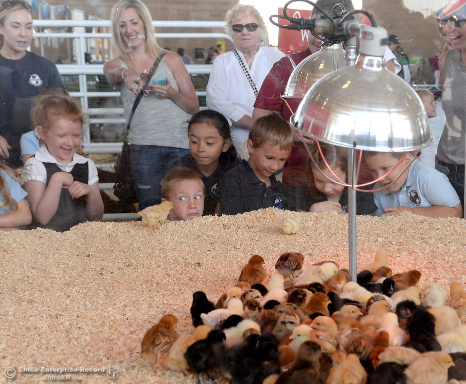 . Kindergarten students from Achieve Charter School of Paradise Inc. check out the baby chicks at the Farm Babies exhibit at the Silver Dollar Fair in Chico, Calif. Thurs. May 25, 2017. (Bill Husa -- Enterprise-Record)