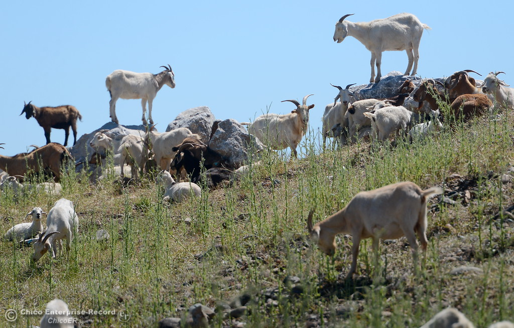 . A herd of goats graze an area near the railroad tracks along Oro Dam Blvd. in Oroville, Calif. Wednesday May 3, 2017.   (Bill Husa -- Enterprise-Record)
