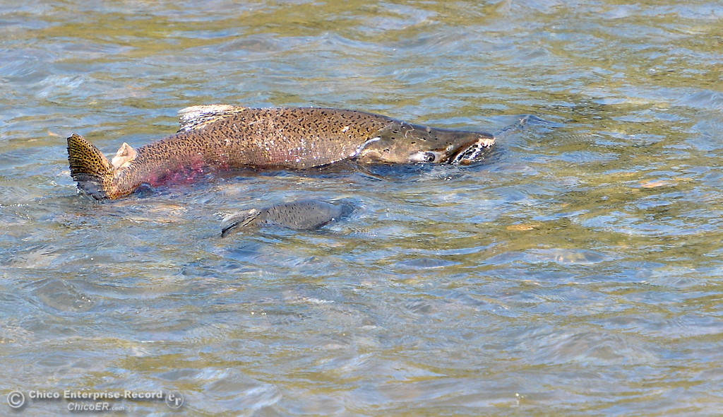 . Salmon spawn in the man made gravel beds below the green bridge on the Feather River near the Fish Hatchery in Oroville, Calif. Mon. Oct. 30, 2017. (Bill Husa -- Enterprise-Record)