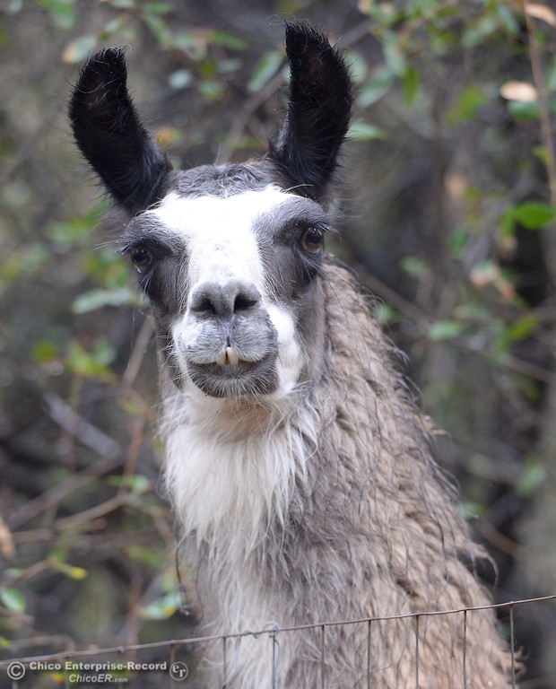 ". Three lost llamas have found their way to the Gardiner Family property at 118 Lost Horizon Drive in Kelly Ridge. Tracie Gardiner said ""They\'re fine here but I think I would be sad if my llamas were missing.\"" Oroville, Calif. Fri. Nov. 10, 2017.  (Bill Husa -- Enterprise-Record)"