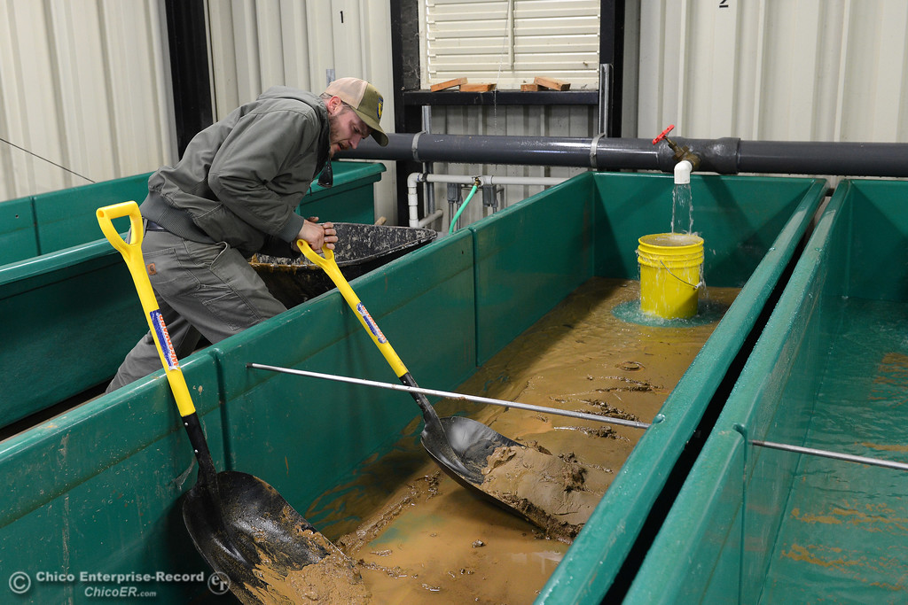 . Department of Fish and Wildlife technician Anthony Lombardi strains with effort as he cleans mud from a fish holding bin at the Feather River Fish Hatchery on Saturday, Feb. 18, 2017, in Oroville, California, after the broken Oroville Dam spillway sent dirt and debris into the Diversion Pool and Feather River, threatening the fish at the hatchery. (Dan Reidel -- Enterprise-Record)