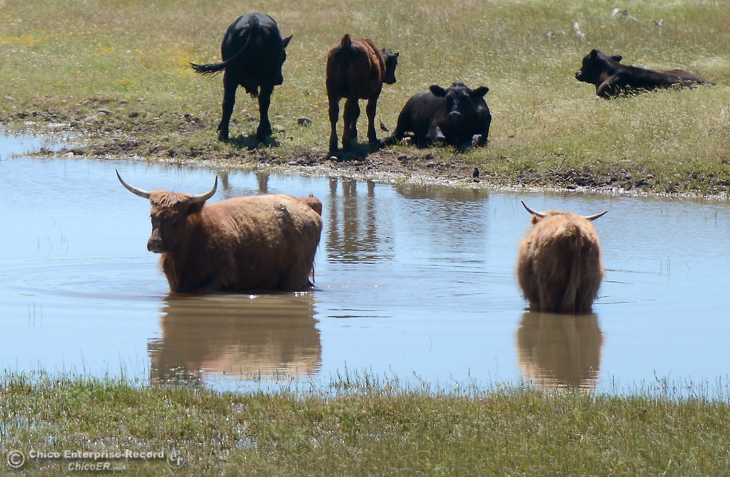 . Cattle stand in the water seen near the intersection of Hwy. 149 and Hwy. 70 Wednesday May 3, 2017.   (Bill Husa -- Enterprise-Record)