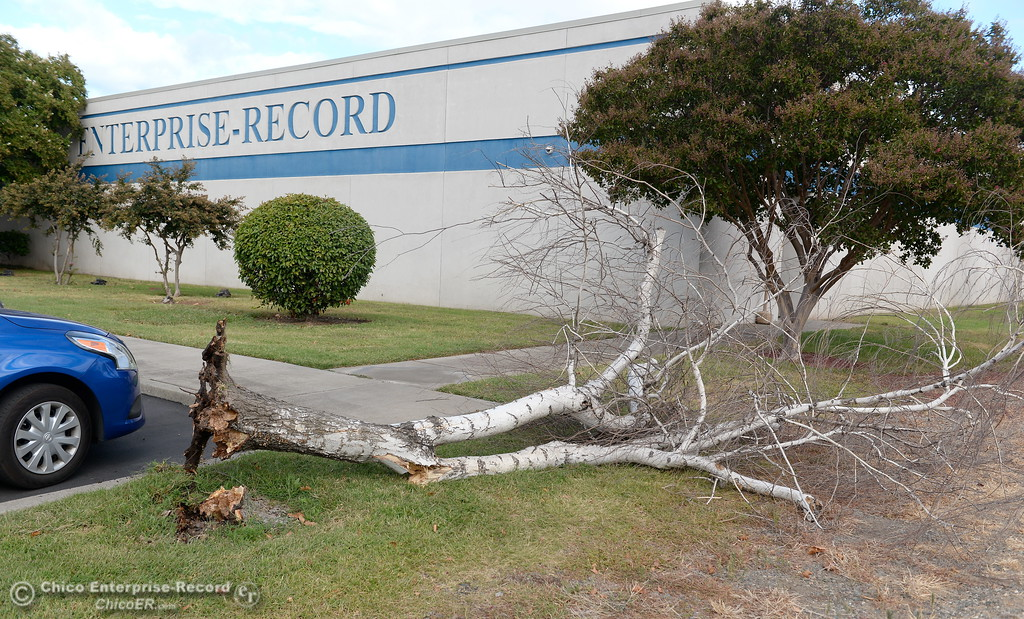 . A dead tree falls in the Chico Enterprise-Record parking lot in Chico Calif. Wed. Sept. 20, 2017.   (Bill Husa -- Enterprise-Record)