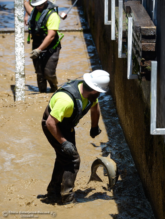 . Fish & Wildlife Technician Joe Amoroso tries to rescue a fish trapped in shallow water  as Department of Fish & Wildlife Technicians shut down the fish ladder and crowd out the remaining fish at the Feather River Fish Hatchery in Oroville, Calif. Mon. July 17, 2017. (Bill Husa -- Enterprise-Record)