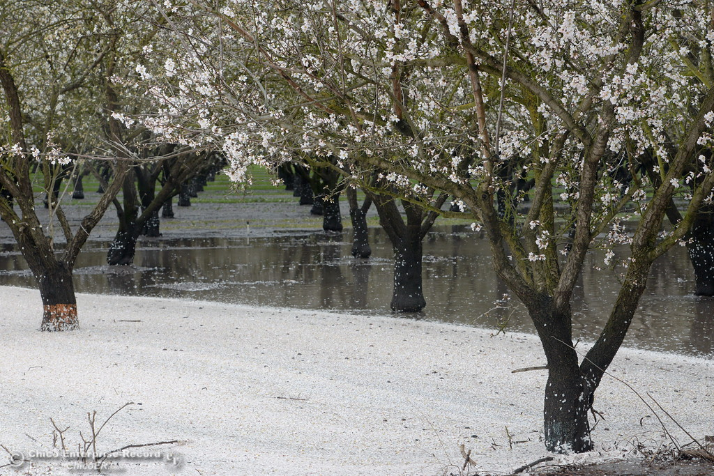 . Almond trees along West Sacramento Ave. are are surrounded by their own buds as they soak in flood water along West Sacramento Ave. in Chico, Calif. Monday Feb. 20, 2017. (Bill Husa -- Enterprise-Record)
