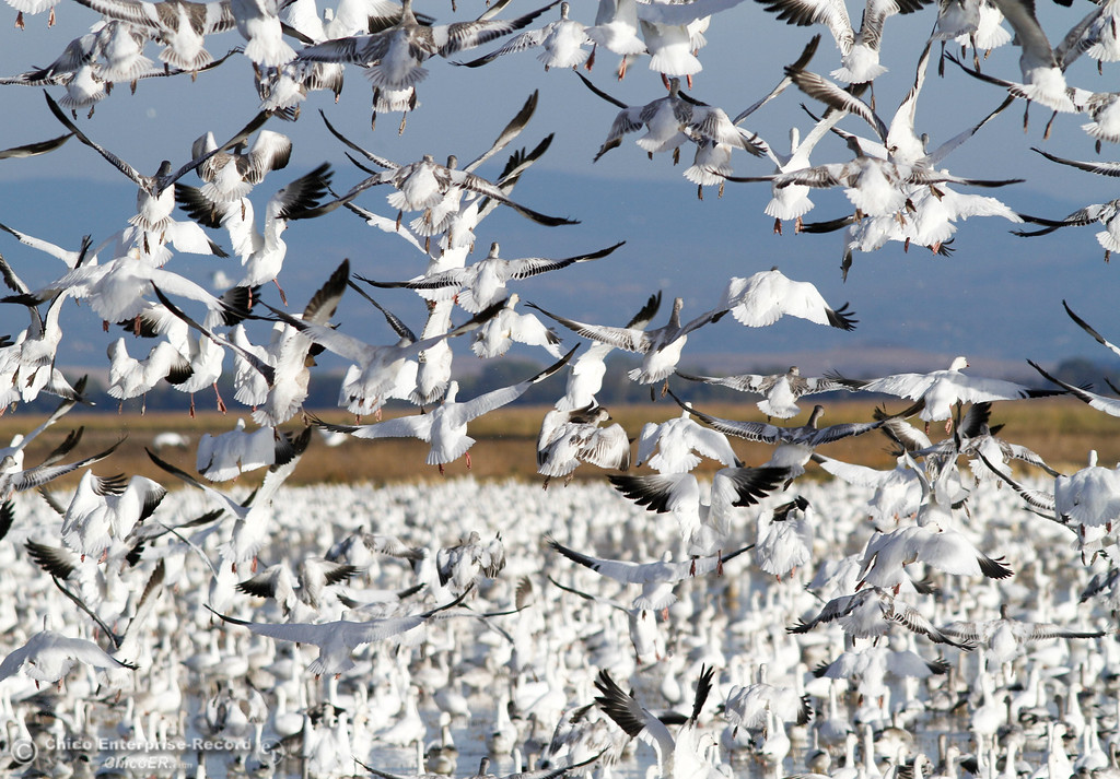 . Snow Geese take flight Saturday November 7, 2017 at the Llano Seco Reserve in Chico, California. (Emily Bertolino -- Enterprise-Record)