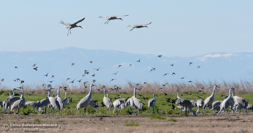 . Three Sandhill Cranes come in for a landing near a bunch of others seen in a field along Hwy 99 south of Chico, Calif. Friday Jan. 27, 2017. (Bill Husa -- Enterprise-Record)