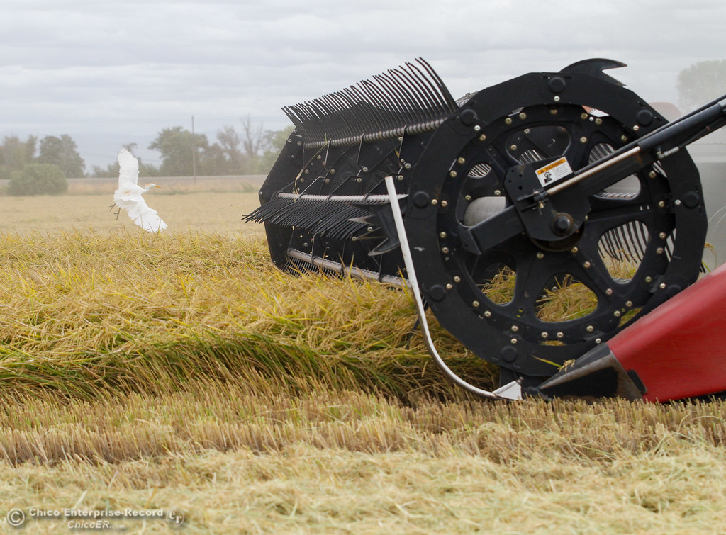 . A harvester plows through a rice field with a Great Egret swooping in for it\'s next bug catch September 20, 2017 on Sligar Farms in Richvale, California. (Emily Bertolino -- Enterprise-Record)