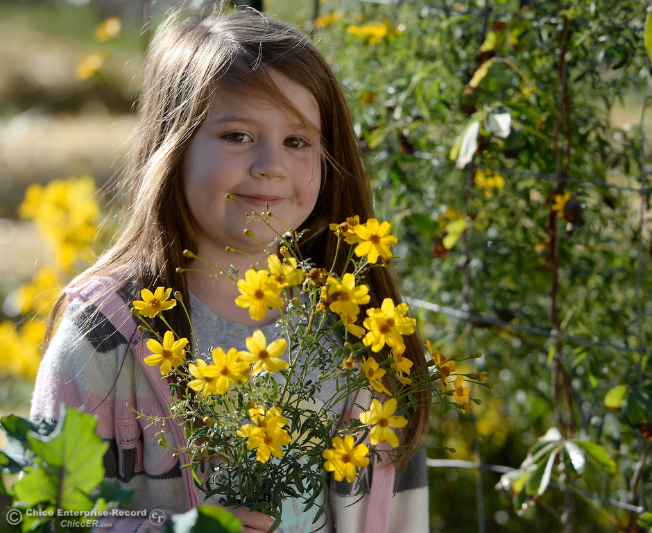. 6-year-old Shaylynn Almodova harvests a bouquet of Mexican Marigolds from the garden while Matt Trumm talks about collecting food scraps from local restaraunts, turning it into compost and eventually back into food in his permaculture garden in Oroville, Calif. Wed. Dec. 20, 2017. (Bill Husa -- Enterprise-Record)