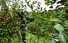 KRISTOPHER RADDER — BRATTLEBORO REFORMER<br /> Migrant workers from the island nation of Jamaica pick apples at the Scott Farm Orchard, in Dummerston, Vt., on Friday, Sept. 11, 2020.