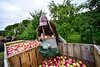 KRISTOPHER RADDER — BRATTLEBORO REFORMER<br /> Michael Johnson, a migrant worker from the island nation of Jamaica, gently dumps his bucket of apples into a wooden crate at the Scott Farm Orchard, in Dummerston, Vt., on Friday, Sept. 11, 2020.