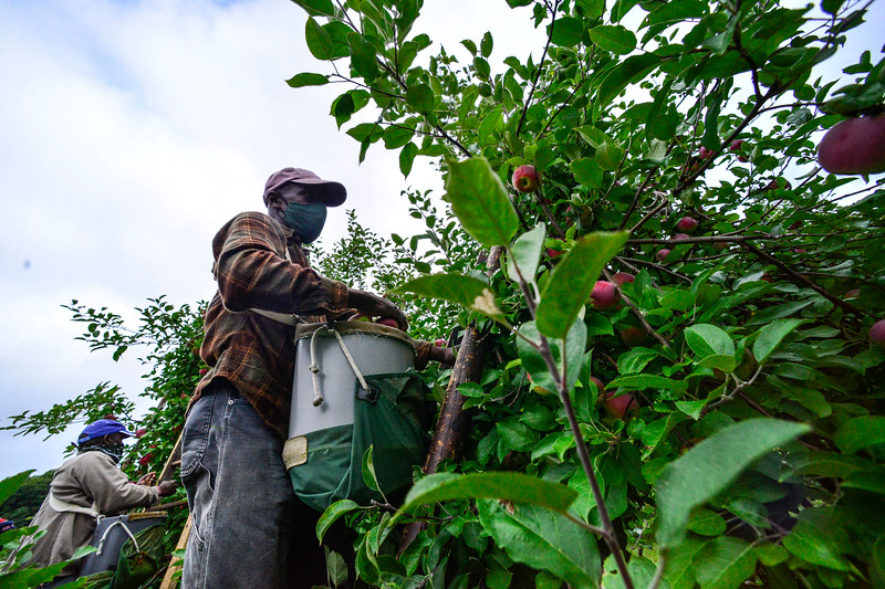 KRISTOPHER RADDER — BRATTLEBORO REFORMER<br /> Michael Johnson, a migrant worker from the island nation of Jamaica, uses a ladder to pick higher apples on a tree at the Scott Farm Orchard, in Dummerston, Vt., on Friday, Sept. 11, 2020.