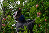 KRISTOPHER RADDER — BRATTLEBORO REFORMER<br /> Keith Gooden, a migrant worker from the island nation of Jamaica, uses a ladder to pick higher apples on a tree at the Scott Farm Orchard, in Dummerston, Vt., on Friday, Sept. 11, 2020.