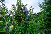 KRISTOPHER RADDER — BRATTLEBORO REFORMER<br /> Lyonel Henry, a migrant worker from the island nation of Jamaica, uses a ladder to pick higher apples on a tree at the Scott Farm Orchard, in Dummerston, Vt., on Friday, Sept. 11, 2020.