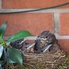 Blackbirds' nest