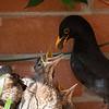 Blacbirds