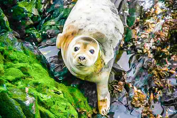 Common Seal the Bass Rock Scotland