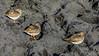 ICELAND-Jökulsárlón-Common Redshank