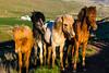 Iceland-highland Route 35-Icelandic horses