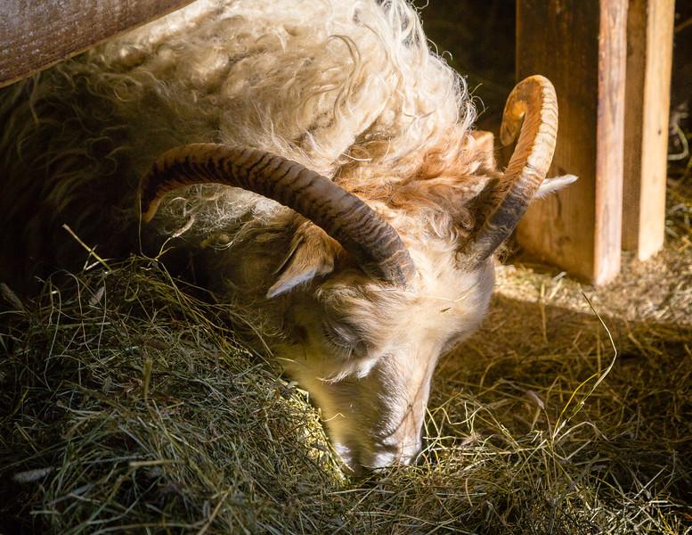 Iceland-Hali Farm-Feeding the sheep