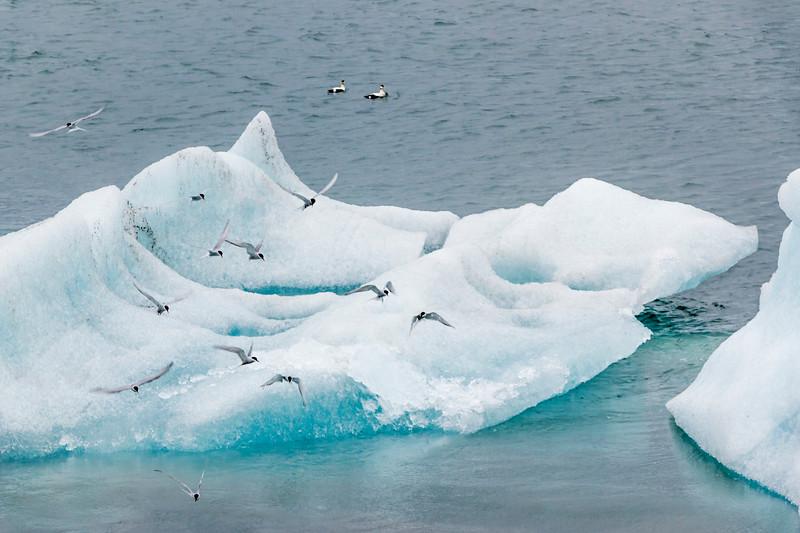 Iceland-Jökulsárlón-Arctic Terns