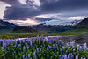 Iceland-Eyjafjallajökull and lupine fields