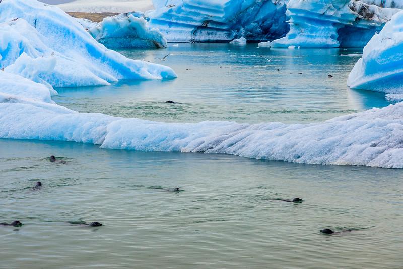 ICELAND-Jökulsárlón-seals feeding