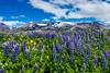 Iceland-Westfjords-Thingeyri-Lupine fields