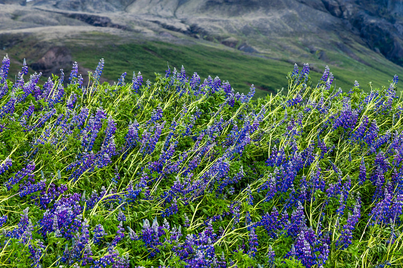 Iceland-Svínafellsjökull-Windblown lupine fields