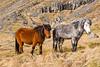 Iceland-Breiðdalshreppur-Icelandic horses