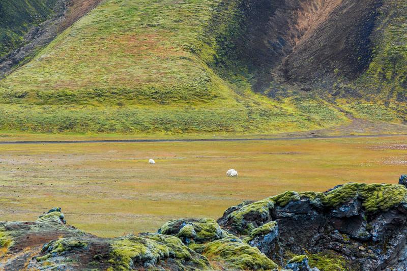 ICELAND-Fjallabak Nature Reserve-Landmannalaugar-Sheep grazing