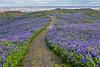 Iceland-Svínafellsjökull-Lupine fields