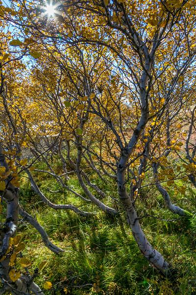 ICELAND-Bárðardalur-Skjálfandafljót River-Autumn Birches