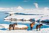 ICELAND-Skútustað-MEVATN-ICELANDIC HORSES