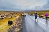 ICELAND-Höskuldsstaðir-sheep roundup