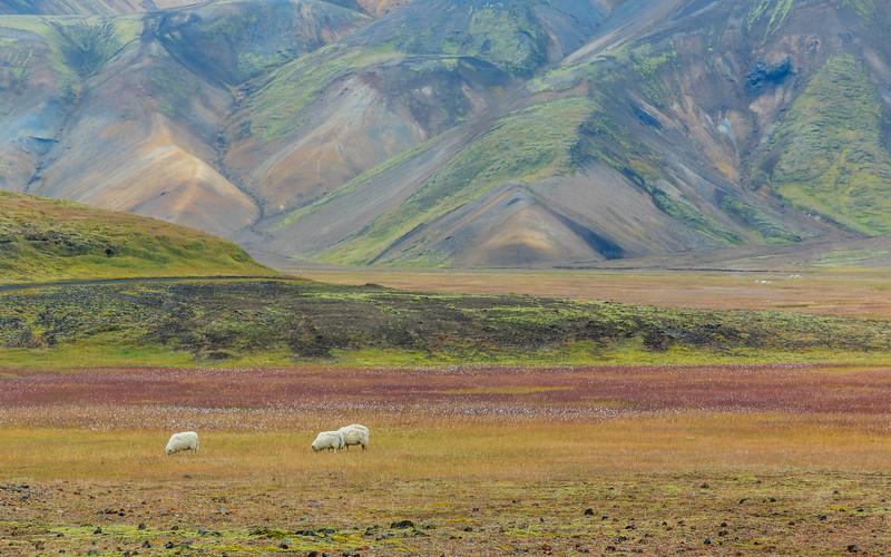 ICELAND-Fjallabak Nature Reserve-Landmannalaugar-Grazing sheep