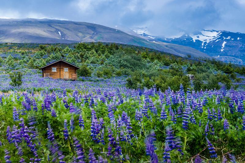Iceland-Fagurhólsmýri-Lupine