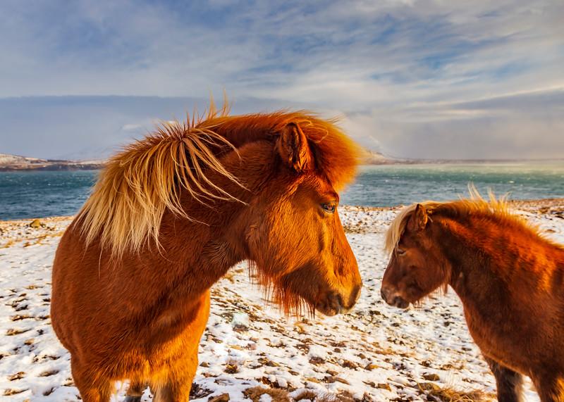 ICELAND-Grundartangi-Icelandic horses