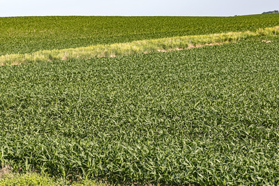 Close up young corn maize plants on a mega farm.