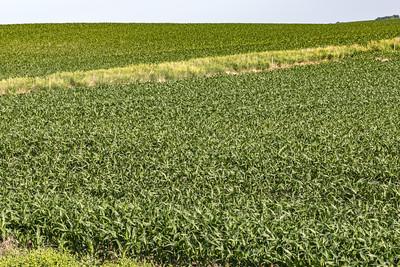 Close up young corn maize plants on a mega farm.