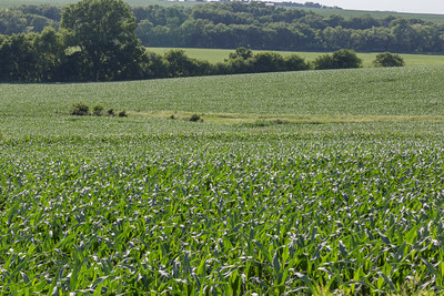 Young corn fields