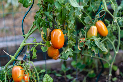 Roma tomatoes on the vine in backyard garden