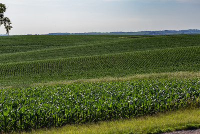 Beautiful rows of young corn plants on a huge rolling corn field