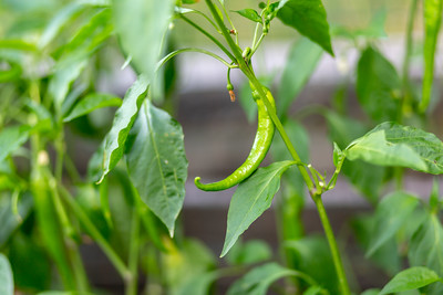 Pepper on the vine