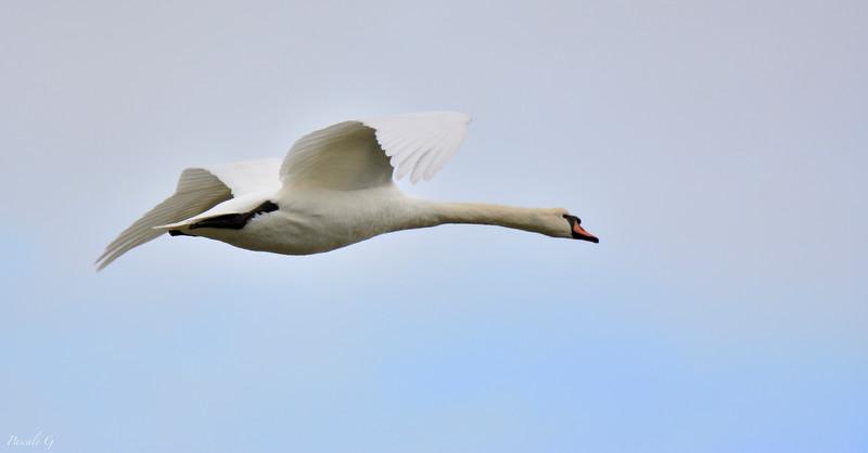 Swan in flight . Cygne en vol