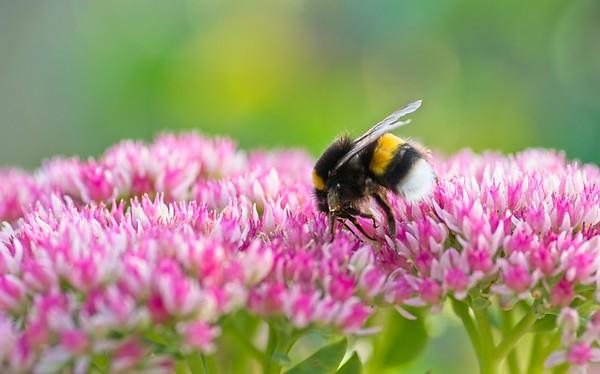 White-tailed Bumble Bee; Bourdon des forêts ; Bombus lucorum