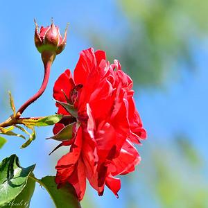 Climbing Rose 'BROWNIE' ® Simstripe ; Rosier Grimpant 'BROWNIE' ® Simstripe