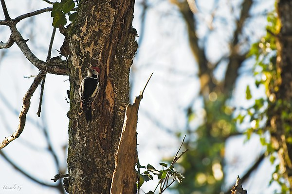 Middle Spotted Woodpecker ; Pic Mar